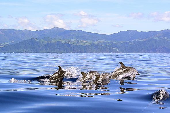 Resultado de imagem para dolphins azores